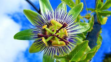 Бесплатные фото Пассифлора,Passiflora,стратоцвет,цветок,растение,флора