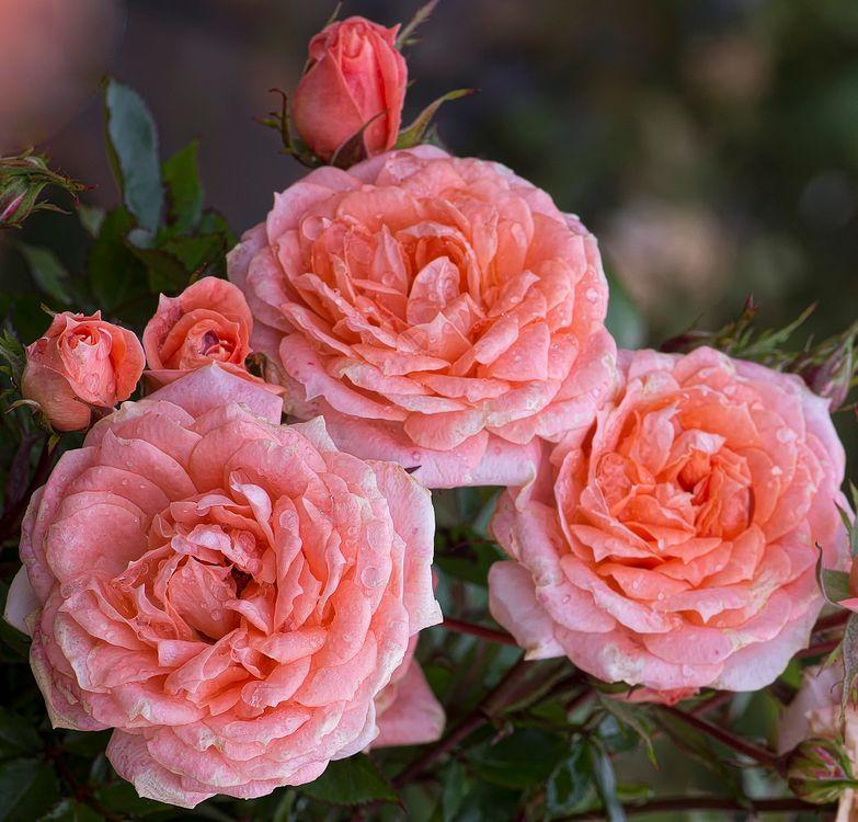 Пионовидная роза · бесплатное фото