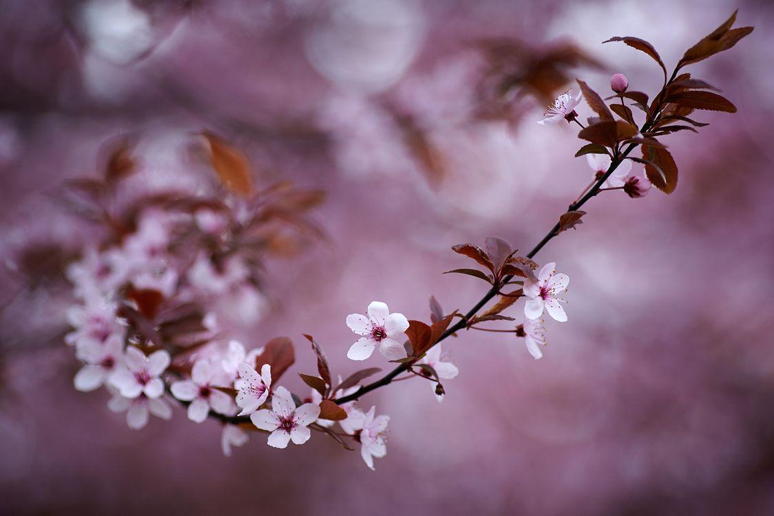 Ветка цветущей вишни · бесплатное фото
