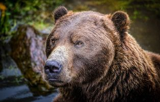 Photo free Alaskan brown bear, predator, animal