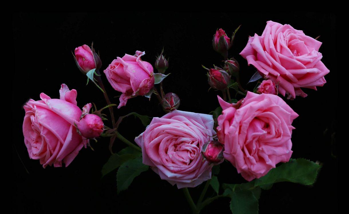 Фото бесплатно розы, роза, цветы, букет, цветок, цветение, флора, цветы