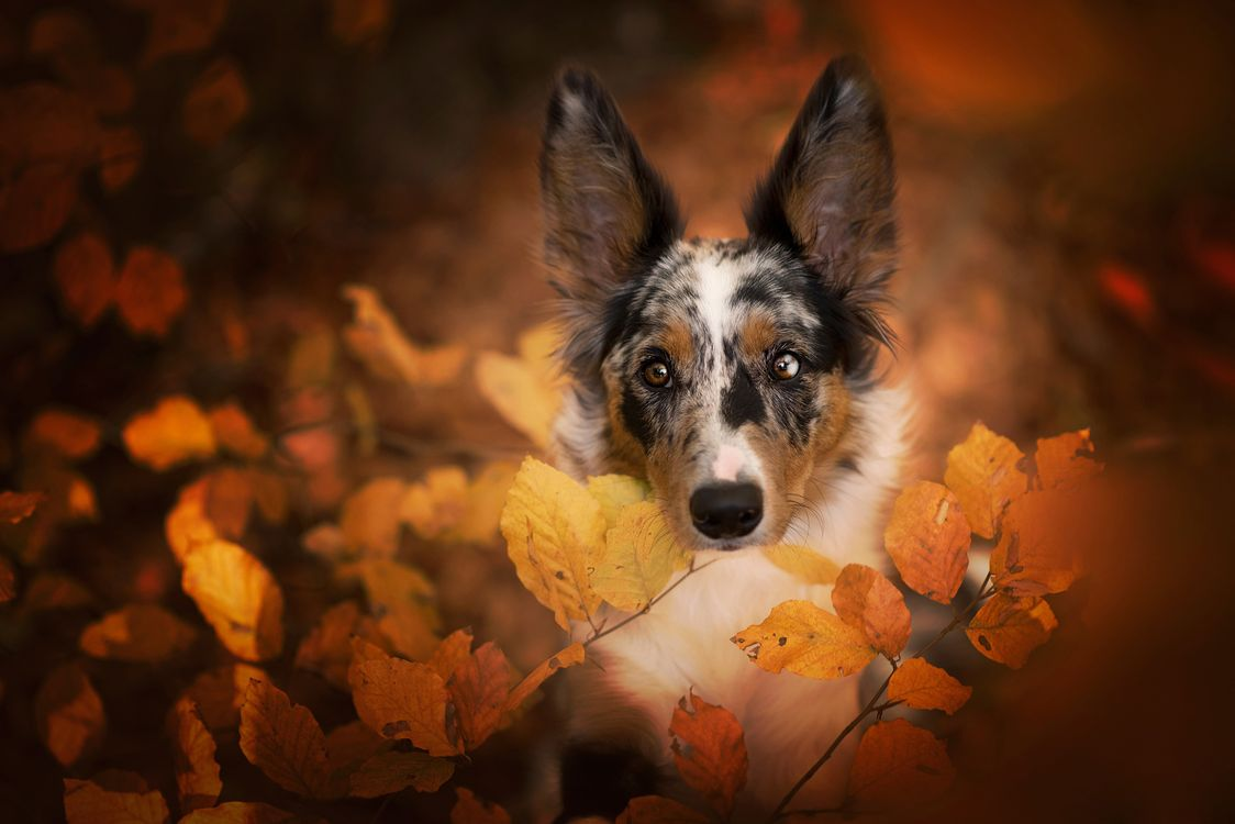Пятнистая морда в осенней листве · бесплатная заставка