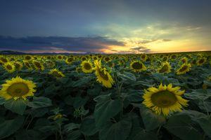 Бесплатные фото закат солнца,поле подсолнухов,поле,цветы,подсолнухи,небо,облака