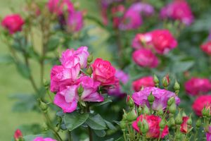 Цветы кустарники