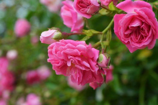 Бесплатные фото роза,розы,цветы,флора,цветение,цветочный,красочный,ветка,яркий