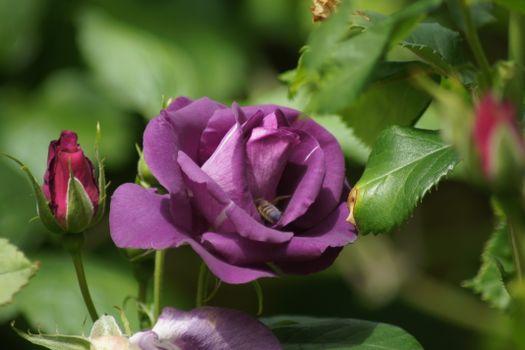Фото бесплатно цветок, фиолетовые розы, флора