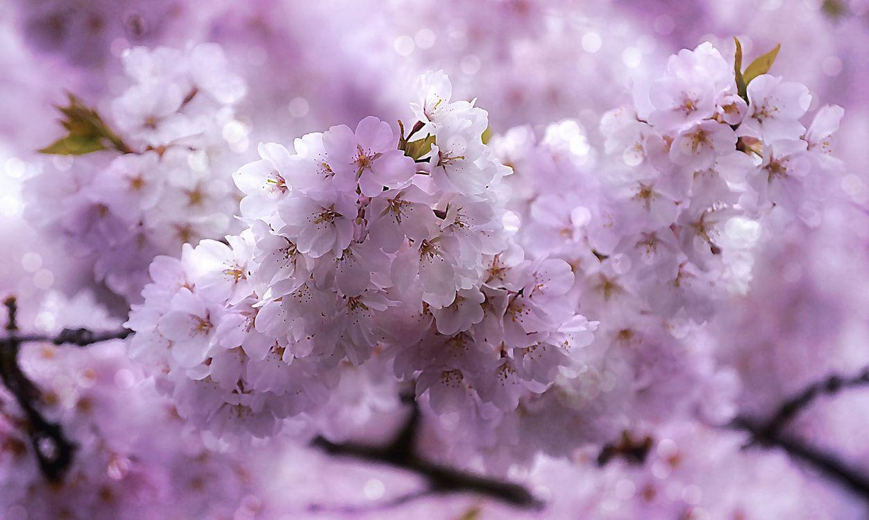 Сакура - Вишня · бесплатное фото