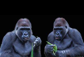 Две гориллы