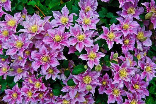 Photo free Clematis, blooming, Bush