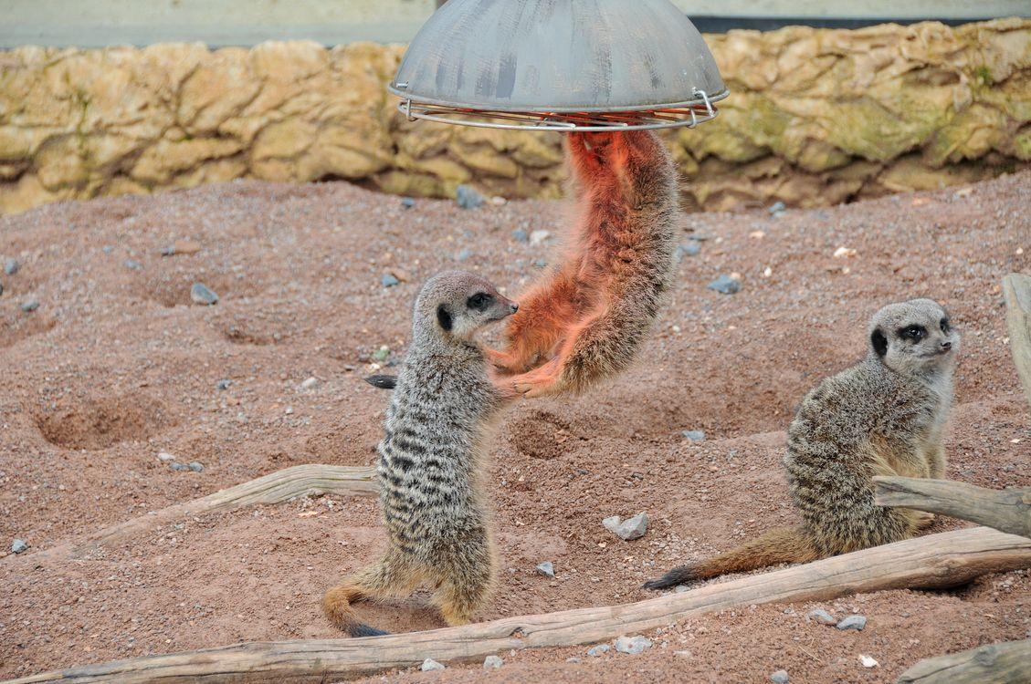 Фото бесплатно Meerkat, играют, развлекаются, Chester Zoo, England, United Kingdom, животные