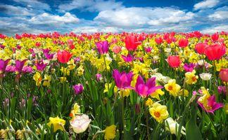 Фото бесплатно флора, поле, тюльпаны