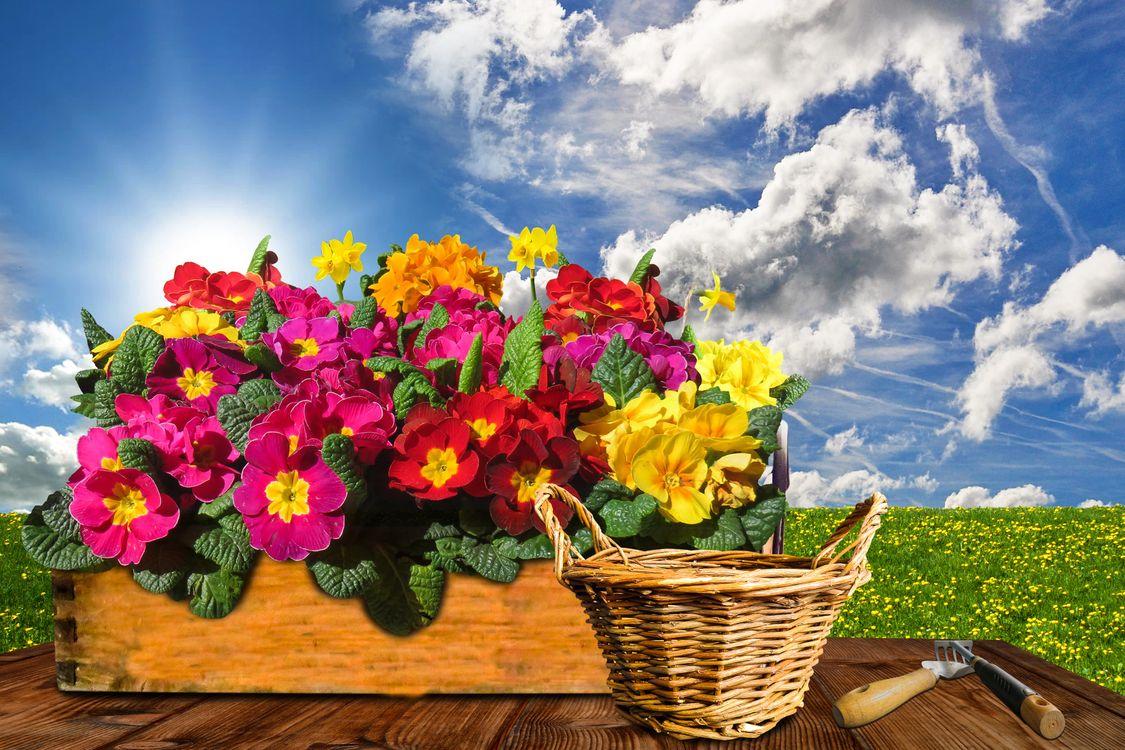 Фото бесплатно цветок, примула, первоцвет - на рабочий стол