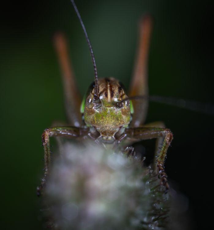 Фото кузнечик портрет насекомое - бесплатные картинки на Fonwall