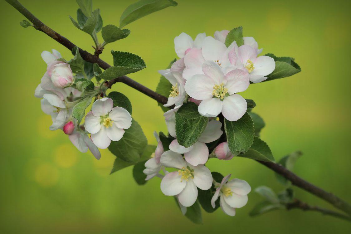 Фото бесплатно яблоня, ветка, листья, цветы, весна, цветок, цветочный, цветение, цветочная композиция, флора, цветущая ветка, цветы