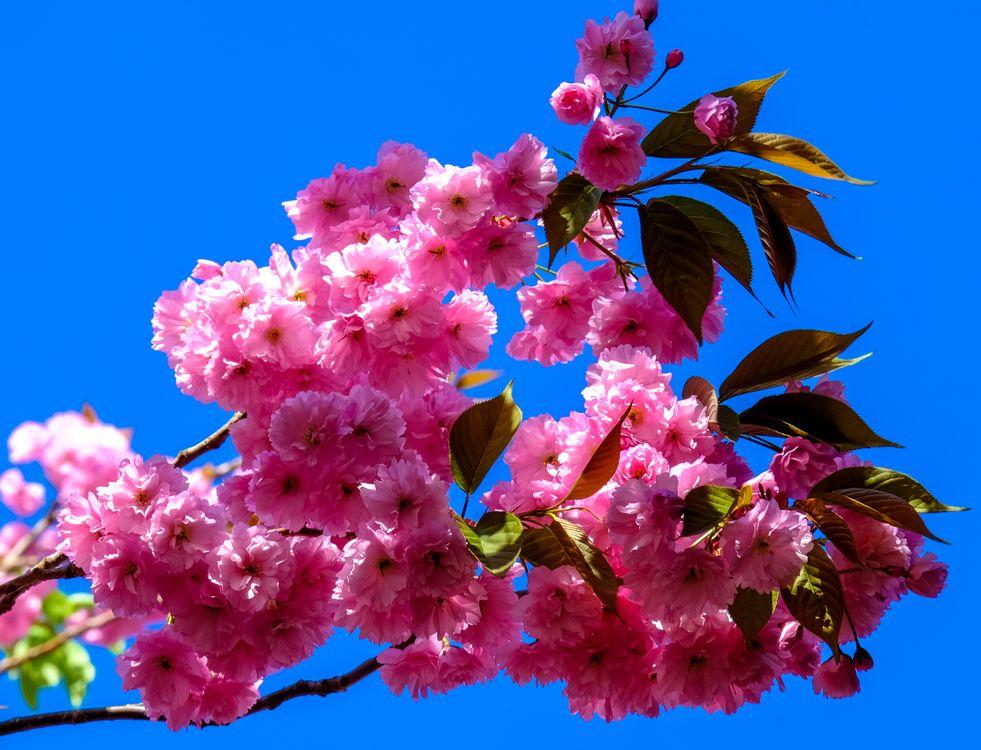 Цветы сакуры · бесплатное фото