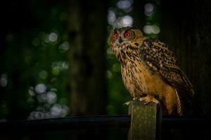 Фото бесплатно филин, Eagle-Owl, Alvesen, Lower Saxony, Germany