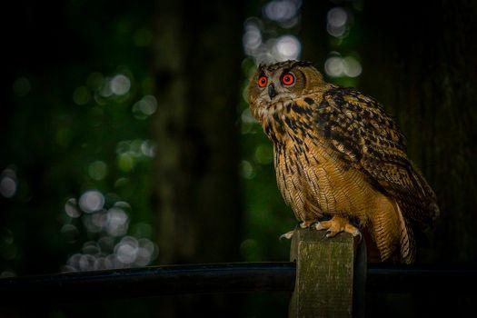 Photo free owl letite, lower Saxony, Germany