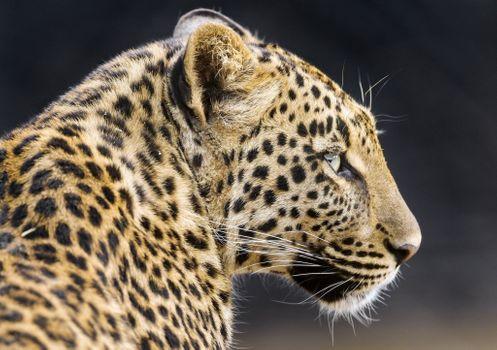 Так выглядит леопард вблизи