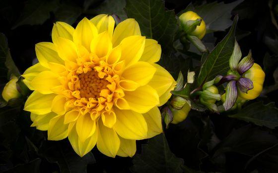 Желтый георгин · бесплатное фото