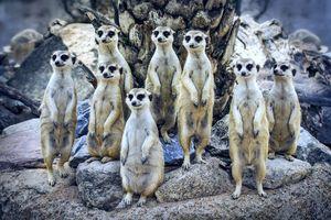 Прикольные сурикаты · бесплатное фото