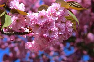 Cherry blossom · free photo