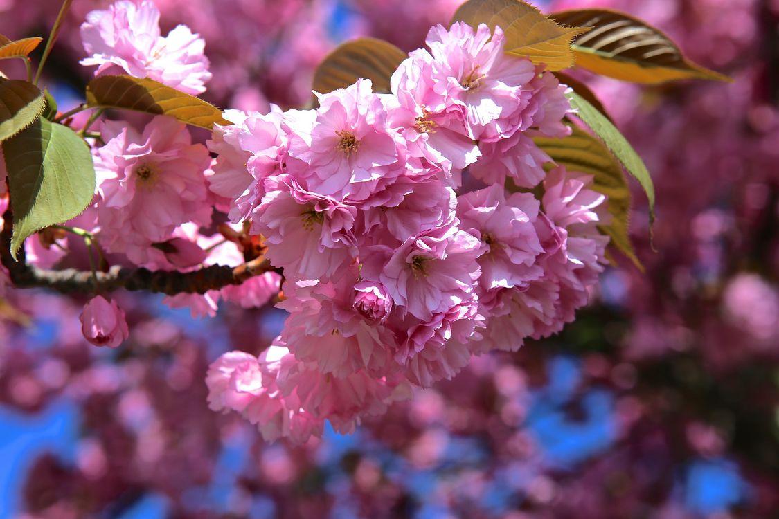 Cherry blossom · бесплатное фото