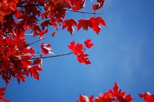 Бесплатные фото осень,голубое небо,цвет,осенние листья,листья,кленовые листья,красный
