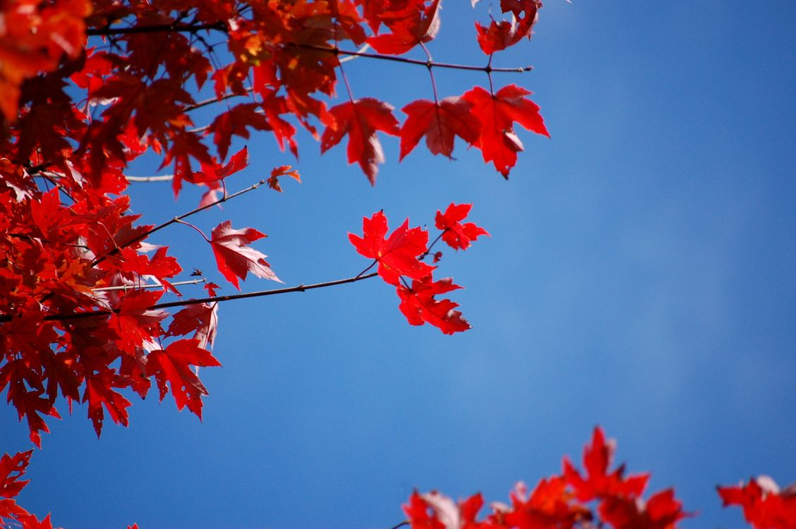 Фото бесплатно осень, голубое небо, цвет, осенние листья, листья, кленовые листья, красный, небо, энергичный, природа - скачать на рабочий стол