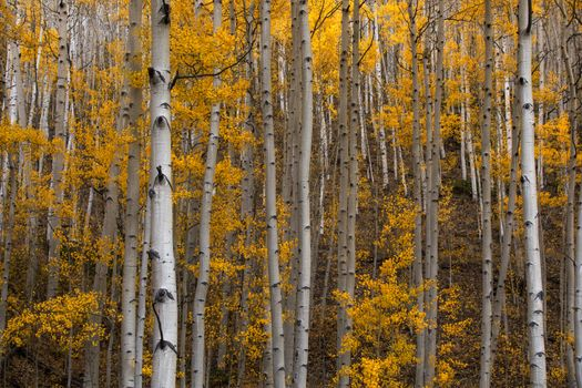 Autumn trees in Aspen Forest · free photo