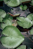 Заставки лягушка,камыш,лист,зеленый,растение,лето,скрытая