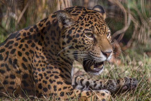 Фото бесплатно jaguar, кошка, ягуар