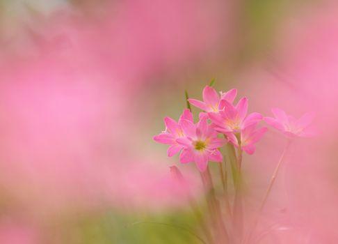 Фотографии лилии, цветы на телефон