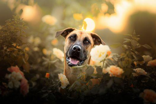 Dog and a rosebush · free photo