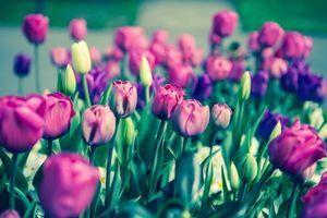 Фото бесплатно тюльпаны, бутоны, стебли