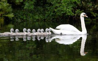 Фото бесплатно лебедь, птенцы, отражения