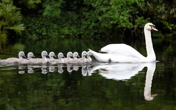 Photo free Swan, Chicks, reflection