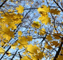Заставки Осень, листья, Клён