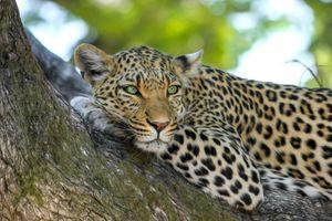 леопард на дереве 3