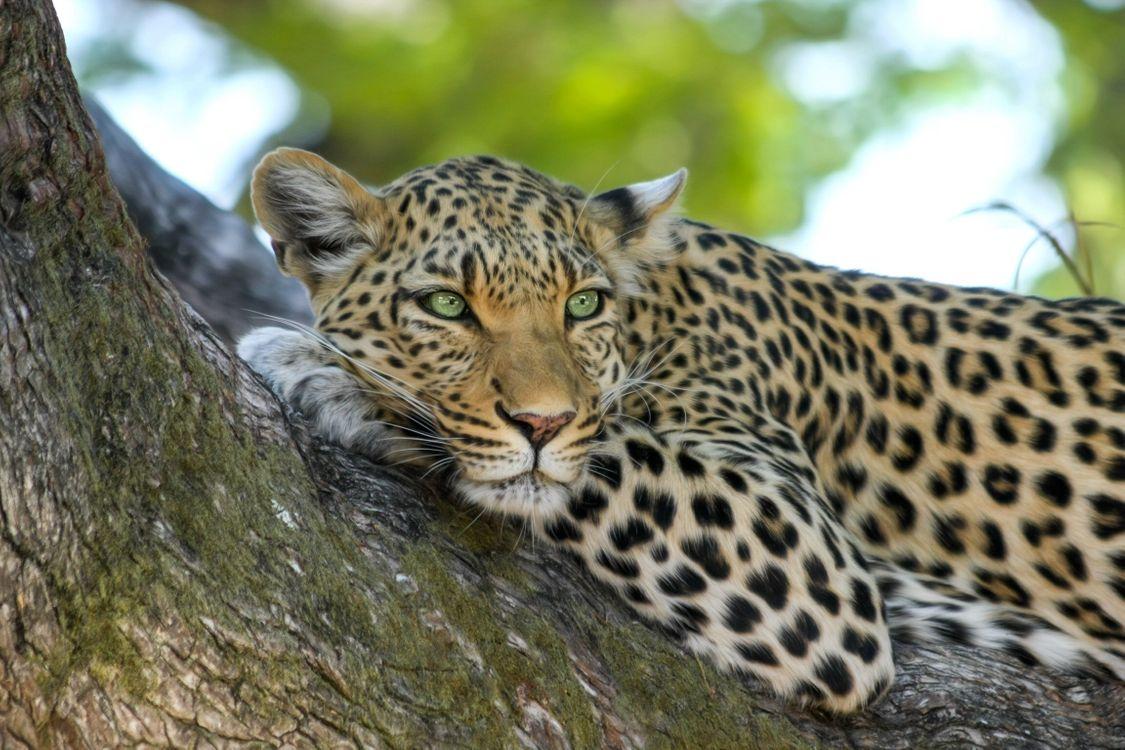 леопард на дереве 3 · бесплатное фото