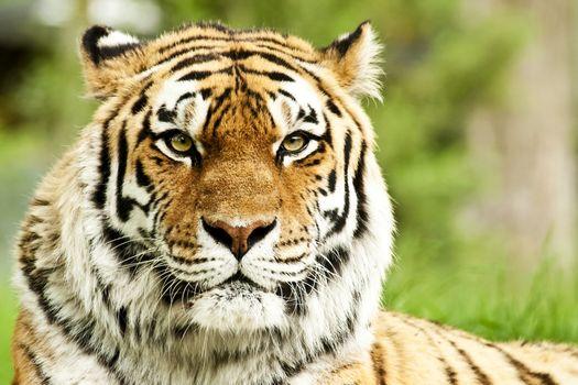 Красивый тигр · бесплатное фото