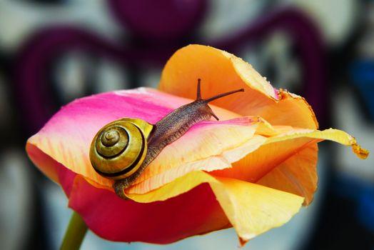 Фото бесплатно улитка, тюльпан, цветок