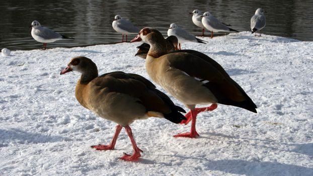 Заставки утки, чайки, зима