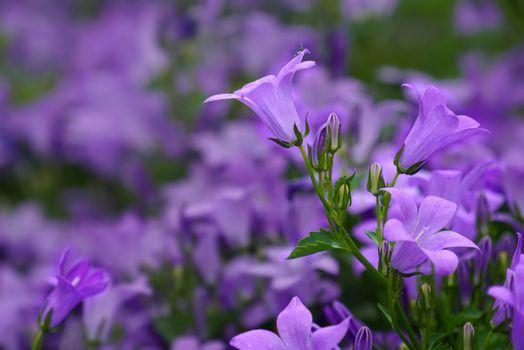 Фото бесплатно колокольчики, цветы, цветочная поляна
