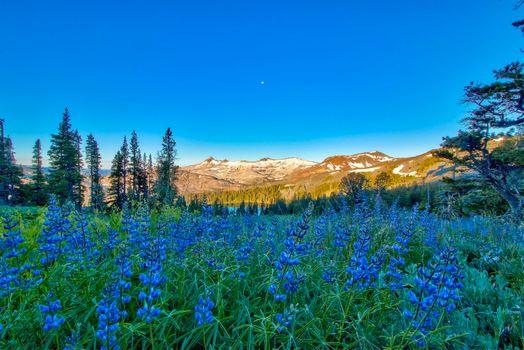 Бесплатные фото поле,цветы,люпин,горы,озеро,Сьерра-Невада,Калифорния,деревья,природа,пейзаж
