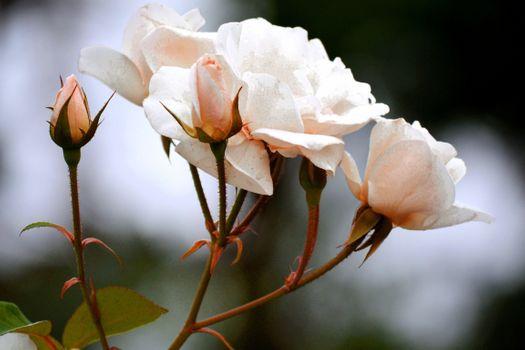 Photo free roses, white, close