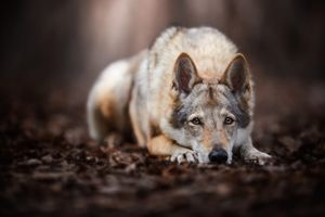 Волчья собака грустит