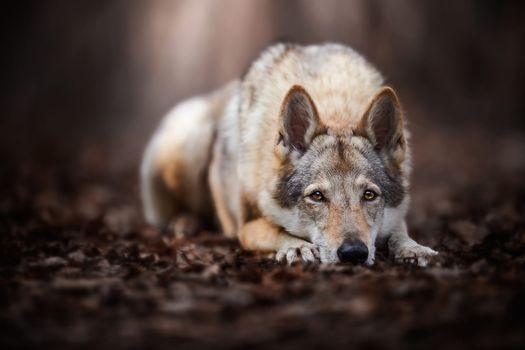 Волчья собака грустит · бесплатное фото