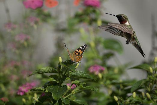 Фото бесплатно колибри, птичка, бабочка