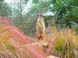 Бесплатные фото Meerkat,сурикат,стойка