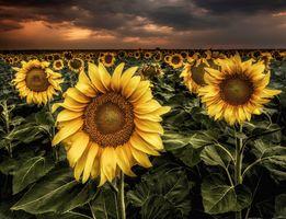 Фото бесплатно закат солнца, поле, подсолнухи